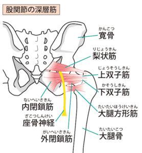 梨状筋の筋肉と坐骨神経